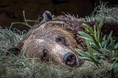 Nap Time (helenehoffman) Tags: omnivore nature animal mammal wildlife sandiegozoo ursus carnivore brownbear ursusarctos grizzlybear ursusarctoshorribilis conservationstatusleastconcern zoosofnorthamerica