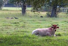 what are you looking at... my morning walk W/ Turkeys (al-ien) Tags: mymorningwalk cow cattle farm ruralflorida rurallife wildflorida