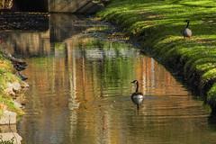 Geese_2701 (smack53) Tags: smack53 goose geese birds wadingbirds stream water brook reflections cedarknolls newjersey autumn autumnseason fall fallseason nikon coolpix p7000 nikoncoolpixp7000 nikonp7000
