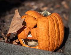 Six Days Later (channel locks) Tags: california states olympusomdem1mkll pumpkin halloween alameda jackolantern mzuiko1240mmf28 orange kurbis