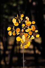 Aspen Leaves, North Kaibab National Forest (Buck--Fever) Tags: ar fallcolors arizona arizonawonders arizonafallcolors aspentrees yellow fall kaibabplateau northkaibabnationalforest earthnaturelife