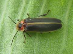 Firefly (Photuris sp.) (tigerbeatlefreak) Tags: firefly photuris insect beetle coleoptera wisconsin