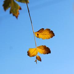 Καλημέρα! ~ Good morning! :-) (Argyro Poursanidou) Tags: leaf leaves foliage colorful nature autumn yellow blue φύση φθινόπωρο φύλλα ελλάδα κίτρινο μπλε ουρανόσ sky