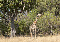 Giraffe - Giraffa camelopardalis (Gary Faulkner's wildlife photography) Tags: kigeliaafricana sausagetree giraffe