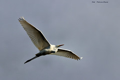 The egrets are back (Patricia Buddelflink) Tags: egrit bird nature winter