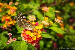 butterfly (reiernilsen) Tags: butterfly sommerfugl summer nature canon 5dmkiii reiernilsen wwwreiernilsencom insect portugal carvoeiro algarve flower green colors