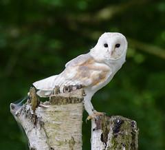 Barn Owl #1 (MJ Harbey) Tags: owl bird barnowl aves strigiformes tytonidae strigidae hawkconservancytrust andover hampshire nikon d3300 nikond3300 tytoalba