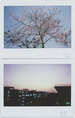 one day (breeze.kaze) Tags: instantfilm fujiinstaxwidefilm mintinstantkonrf70 autumn morning f22 1500sec silkflosstree flowering tree sunset dusk sky