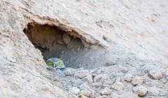 MJD_1562 (mikedarrach) Tags: bird owl burrowing