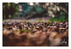 Why oh why... I'm still green! (Bob Geilings) Tags: fall autumn leaves november brown mood trees macro bokeh forrest nature
