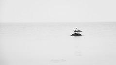 The Dry Spot (ak | Lenswork) Tags: water seagull island wide nature bw black white sea waterbirds monochrome less minimalistic ostsee probstei meer möwen schwarzweis monochrom weite vögel bird