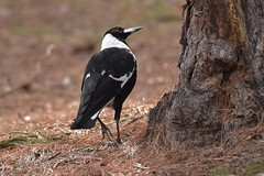 Australian Magpie (Luke6876) Tags: australianmagpie magpie bird butcherbird animal wildlife australianwildlife nature