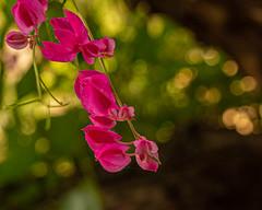 Flowers of Coral Vine (Stephen G Nelson) Tags: flower vine coralvine botanicalgarden tucson arizona