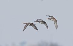 Gadwall Anas strepera (Stuart Carlton) Tags: gadwall anasstrepera bird ducksrspblangfordlowfields nottinghamshire