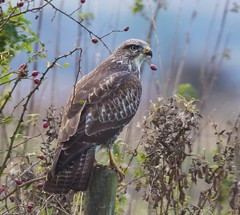 Common Buzzard (Lutra77) Tags: buzzard commonbuzzard buteobuteo wildlifephotography birdsofprey naturephotography britishbirds birds bonbycarr lincolnshire