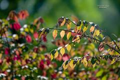 beautiful autumn colors (mariola aga) Tags: autumn fall bush branches leaves light sunlight bokeh dof nature