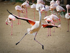 Crazy dancer (Sony Selp18105G) (gyulaiván) Tags: sony selp18105g 18105 glens a6500 zoo budapest hungary pink bird flamingo colorfull color