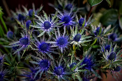 Blue Sea Holly Eryngium (Fnikos) Tags: flower flor fiore fiori cardo leaf leaves nature naturaleza natura natur color colour colores colours colors blue blau azul green verde dark light shadow shadows dof depth depthoffield 50mm pentax outside outdoor
