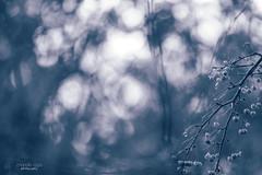 daydreaming ... (mariola aga) Tags: autumn branch fruit berries light sunlight bokeh blur dof nature blue tint art
