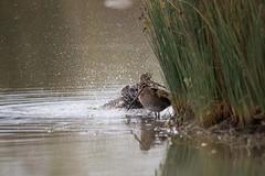 IMG_1640.jpg (eric.benetti) Tags: ariège bécassinedesmarais charadriiformes commonsnipe domainedesoiseaux gallinagogallinago mazères oiseau scolopacidés bird