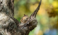 A chunky chipmunk looks down from the tree above me! (Beth Rizzo) Tags: chipmunk chipmunks wildanimal wildlife pondlife pond trees critters naturallightphotography