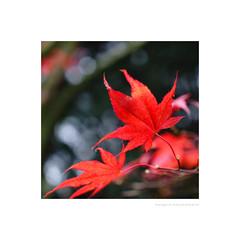 An acer in autumn (G. Postlethwaite esq.) Tags: dof derbyshire etwall japanesemaple macro tarabuddhistcentre unlimitedphotos acer autumn bokeh depthoffield leaves photoborder selectivefocus
