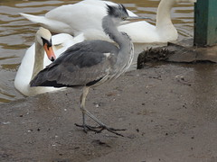 Strut Your Funky Stuff! (Glass Horse 2017) Tags: cleveland redcar lockepark greyheron waterbirds crest juvenile muteswan strutyourfunkystuff