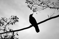 crow (KT Bonita) Tags: rx100m7 sony crow monochrome bw bird silhouette モノクロ 鳥 シルエット カラス