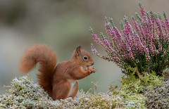 Eekhoorn, Red Squirrel (Henk Laverman) Tags: winner eekhoorn dier kleurrijjk redsquirrel natuur animal