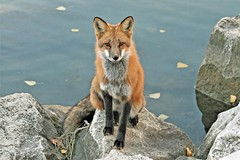 Last Chance (marylee.agnew) Tags: red fox vulpes nature hope water wildlife earth