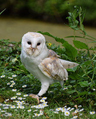 Barn Owl #2 (MJ Harbey) Tags: owl bird barnowl stigidae tytoalba aves strigiformes tytonidae hawkconservancytrust andover hampshire nikon d3300 nikond3300