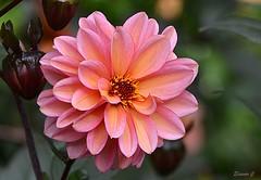 Thursday`s Flower (Eleanor (New account))) Tags: flower dhalia pinkflower buds grimsdyke harrowweald england uk nikond7100 october2019