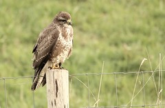 Common Buzzard (Mick Lowe) Tags: buzzard bird buteo perched nature common