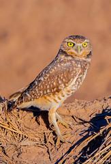 MJD_15912 (mikedarrach) Tags: bird owl burrowing