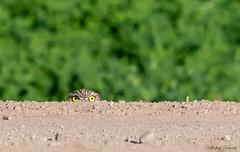 MJD_1540 (mikedarrach) Tags: bird owl burrowing
