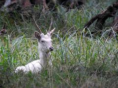 The Young White Knight... (M.L Photographie) Tags: nature animal cervus elaphus cerf élaphe stag reddeer denmark danemark dyrehaven nikon coolpix p900