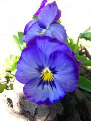 Objet trouve (AndreaMSmithPortugal) Tags: flowers acro pansy nature found