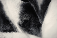 45/52 – I'm only sleeping (stephubik) Tags: 52weeksfordogs bubak