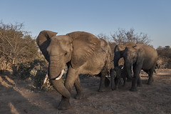 Elephants on the move. (Fotofricassee) Tags: pachyderm southafrica kruger stomping elephant
