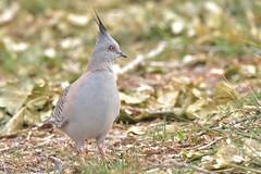 Crested Pigeon (Luke6876) Tags:
