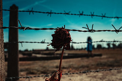 Rose et barrières, Auschwitz, 6 Août 2019 (Enzo R.) Tags: auschwitz sky ciel poland pologne grey nikon tamron photography second world war guerre mondiale 3945 history histoire ambiance rose contrast symbol colors