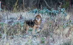 A coyote pauses to give me the once over (Beth Rizzo) Tags: coyote wolf coyowolf coywolf animal wildlife pondlife coyotes wildlifephotography wildlifephotos naturephotography naturallight wild wildanimal