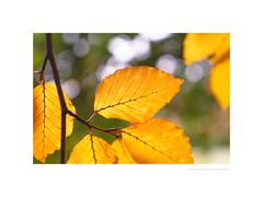 Autumn beech leaves (G. Postlethwaite esq.) Tags: dof derbyshire etwall macro tarabuddhistcentre unlimitedphotos autumn beech bokeh closeup depthoffield leaves outdoor photoborder selectivefocus trees