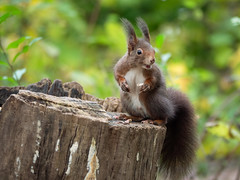 Hey! More Food! (holgerreinert) Tags: 2019 50200 eichhörnchen elmarit hes50200 leica ludwigsburg monrepos november squirell vario naturelove
