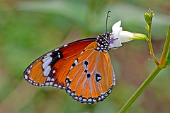 Danaus chrysippus - the Plain Tiger (male) (BugsAlive) Tags: butterfly mariposa papillon farfalla 蝴蝶 dagvlinder 自然 schmetterling бабочка conbướm ผีเสื้อ animal outdoor insects insect lepidoptera macro nature nymphalidae danauschrysippus plaintiger danainae wildlife doisutheppuinp chiangmai ผีเสื้อในประเทศไทย liveinsects thailand thailandbutterflies nikon105mm bugsalive หรือหนอนใบรักธรรมดา