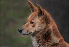 Rothund (gaby.harig) Tags: 723316 natur tiere säugetiere rothunde zoo der wingst