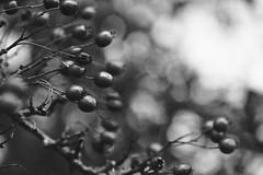 OOO OO OOO OOOO (shawn~white) Tags: bokeh fujifilmxt2 ©shawnwhite tree fruit vintage dark moody berries dramatic mystical dreamy trippy spiritual magical hawthorn alteredstate autumn blackandwhite bw nature closeup grain telephoto filmlook incamerajpeg sooc