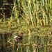 Little Grebe (Tachybaptus ruficollis)