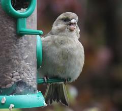 Female Chaffinch (NTG842) Tags: garden birds female chaffinch