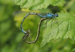 Common Blue Damselfly (Enallagma cyathigerum) Pair (Rezamink) Tags: enallagmacyathigerum commonbluedamselfly dragonflies odonata uk